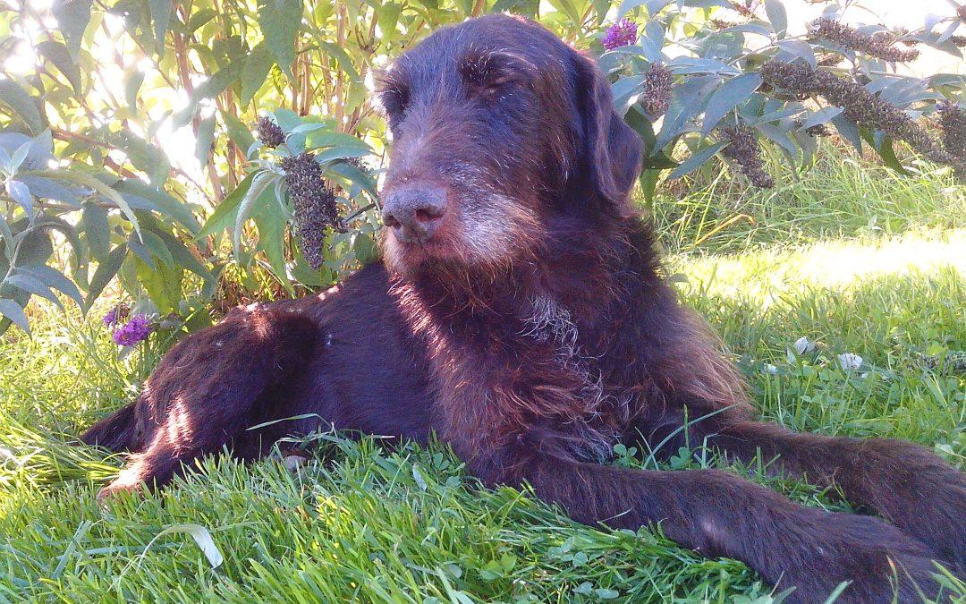 Lancelot, Deutsch Drahthaar Rüde, ca. 10-12 Jahre alt, super freundlich, verschmust und kinderlieb