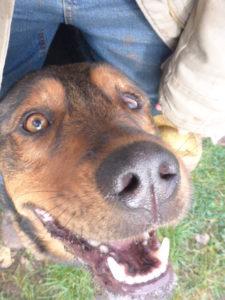 Gentleman Marco - sanftmütig, super verträglich, verspielt, 56cm - kleiner Schäferhund-Mix ca.2 J