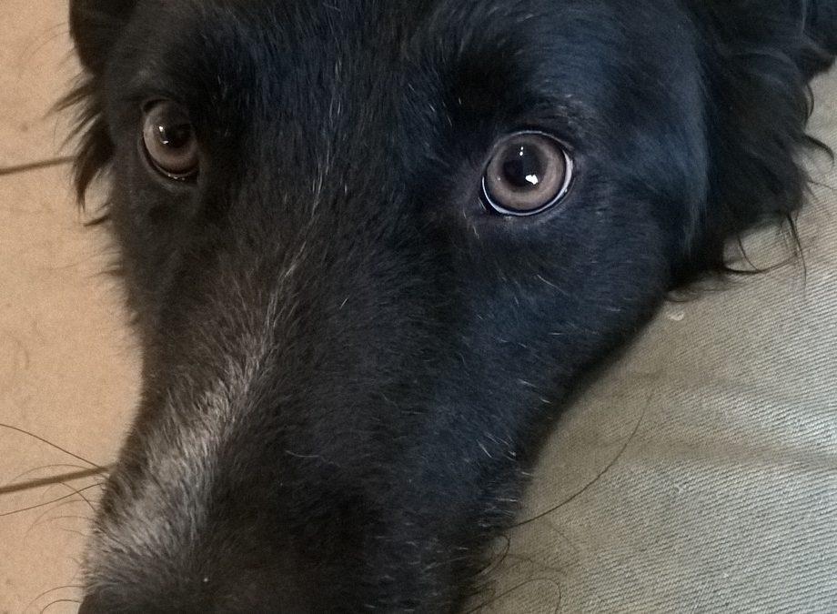Teddy ca 2-3Jahre, Hütehund-Mischling, kastriert, liebt Hunde und Katzen