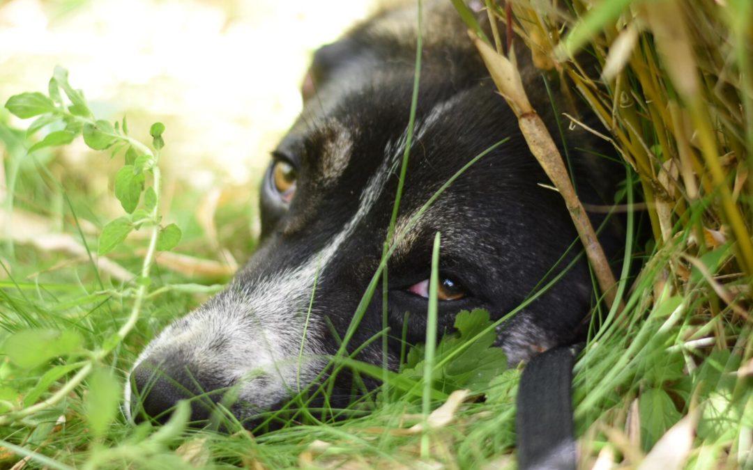 Valentin , ca 1,5j jung, kastriert, verträglich, lieb, etwas unsicher – sucht Zuhause MIT Hund(en)