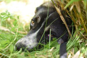 Valentin , ca 1,5j jung, kastriert, verträglich, lieb, etwas unsicher - sucht Zuhause MIT Hund(en)