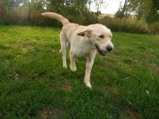 Hugo 10Monate, lieb, verspielt, freundlich, katzenverträglich – Anfängerhund