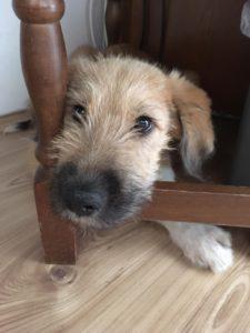 Frederik, 5 Monate, Traumbube sucht eigenes Sofa, katzenverträglich, stubenrein