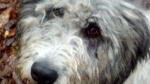 Oskar , geboren 2017, Mioritic-Mischling, kastriert, verträglich, treu und loyal, stubenrein