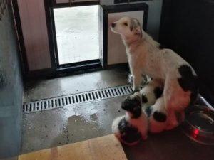 Belinda, geb 2017/2018, kastriert, Mutter von 4 Welpchen (2m/2w)- kommen im März/April zu uns