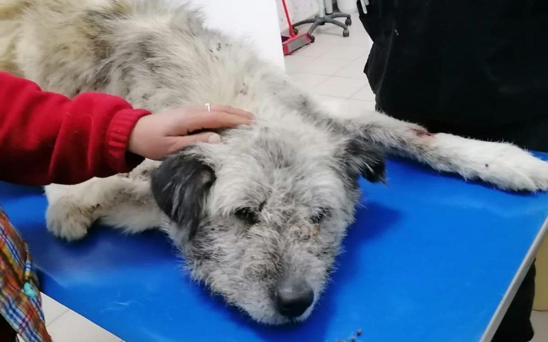 Sir Lancelot, ca 2j, Fundhund mit eingewachsenem Draht